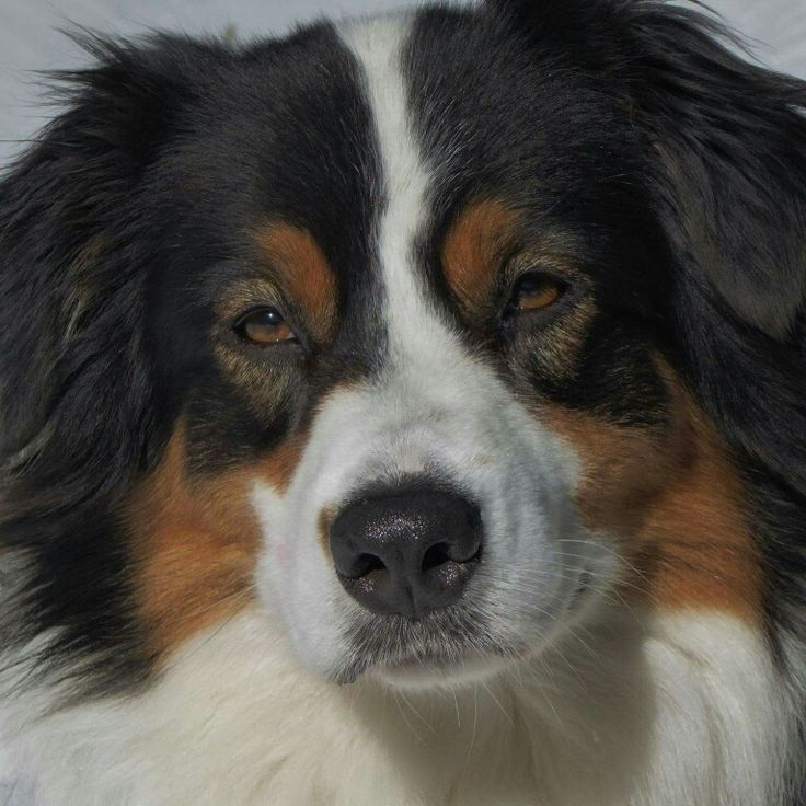 Molly the Australian Shepherd