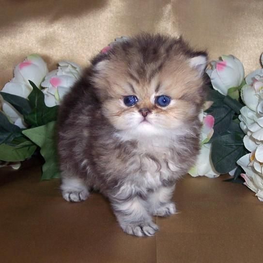 Silver 'N Gold Glamour Cats - Golden Classic Tabby Tiny Teacup ...