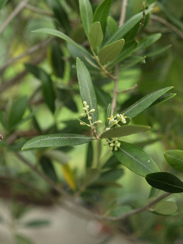 2017-06-05: One of our olive trees with flower buds this summer! Don't expect much olives though!