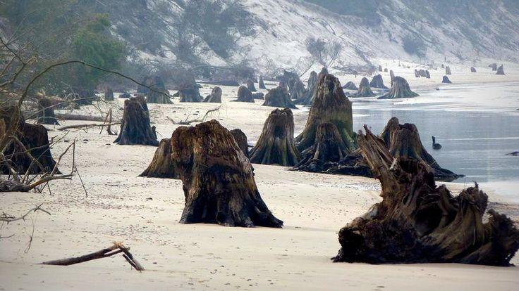 Wybrzeże: sztormy odsłoniły zatopiony las w okolicach Czołpina | Przyroda, pogoda, klimat