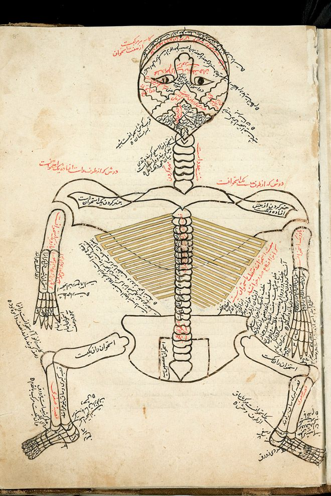 The Anatomy of the Human Body, 1386; copied mid-1400s. Mansur ibn Muhammad ibn Ahmad ibn Yusuf ibn Ilyas. Squatting figures such as this were the dominant model for anatomical illustration in the Islamic world until the introduction of European models.