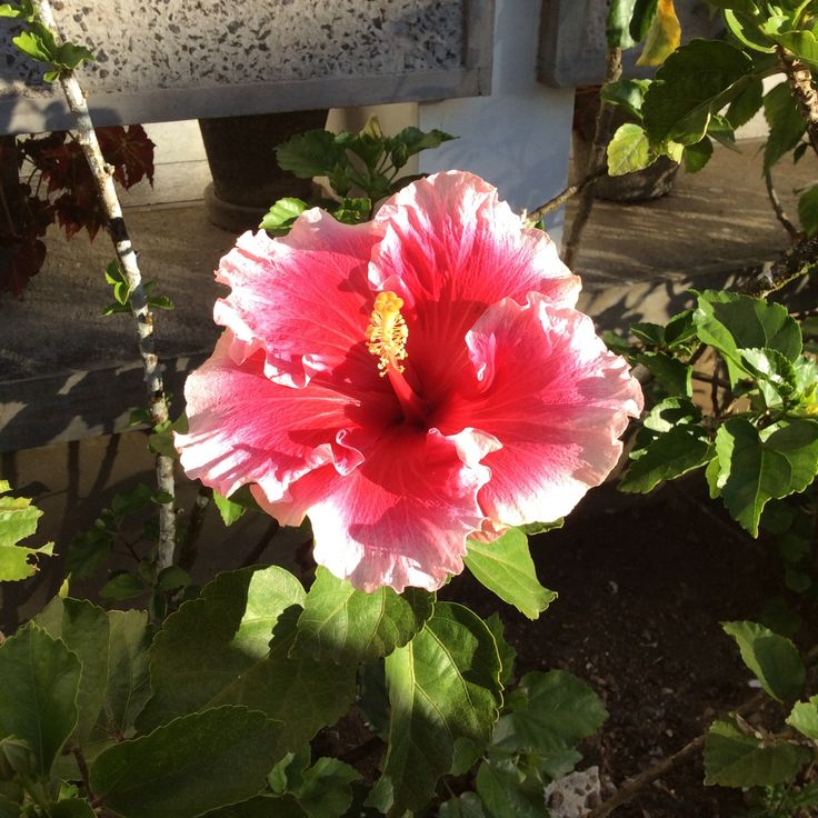 A Beautiful Hibiscus Flower.
