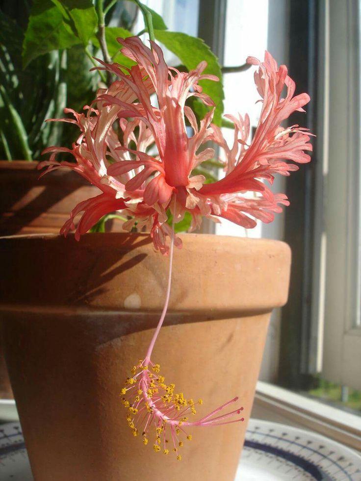 Hibiscus Schizopelatus