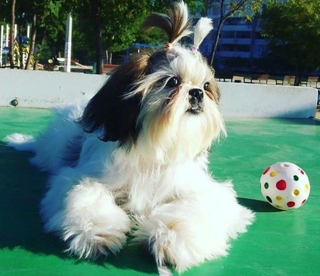 Top 100 Shih Tzu Male Dog Names In 2020 Dog Names Shih Tzu Dogs