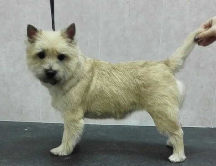 Cairn Terrier Haircut Cairn Terrier Terrier Dog Lovers
