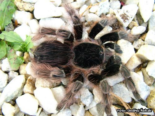 Acanthoscurria natalensis - female Fluffy and Majestic!