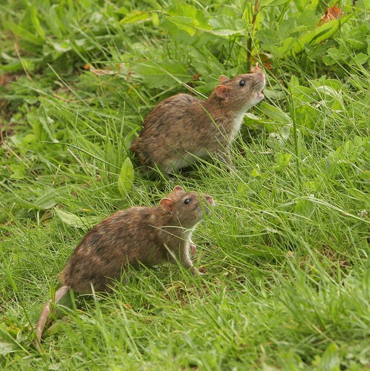 The Brown Rat - Rattus Norvegicus