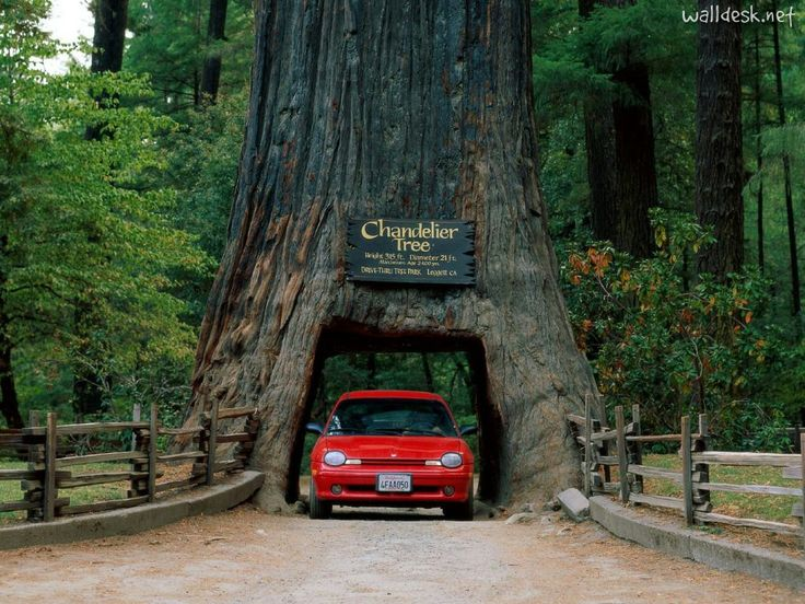 Take a road trip from Portland, OR to San Deigo, CA and see the redwood trees.  Especially this one.  I'd love to drive through this tree.