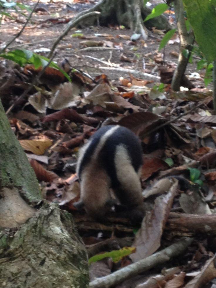 Anteater in the rain forest near Lapa Rios in Costa Rica