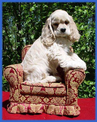 I'm a mini doggie and fit in my chair just right!#dogs #pets #CockerSpaniels Facebook.com/sodoggonefunny