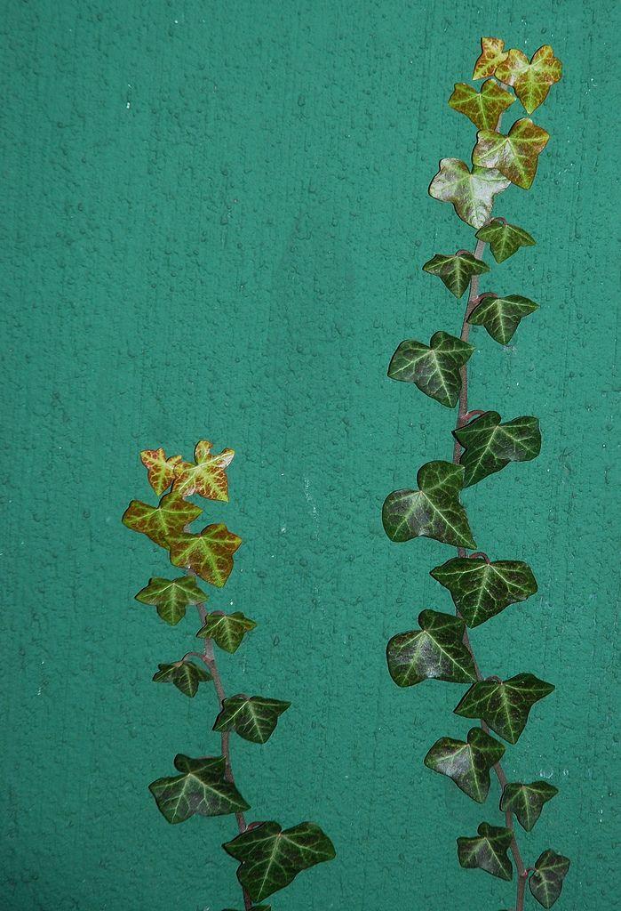 Lierre = Ivy