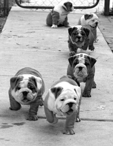 English bulldog pups.... Love them! I raised em.. My house use to be like this.. Pups everywhere..miss em!