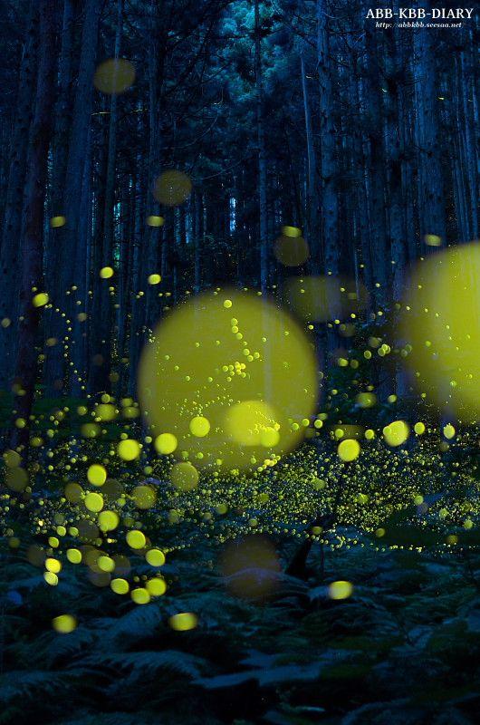 Firefly(蛍), Hiroshima, Japan ABB-KBB-DIARY