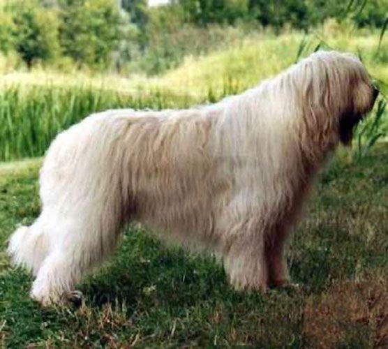 South Russian Sheepdog photo   Juhász/pásztorkutyák II. - Ebenci Klopédia
