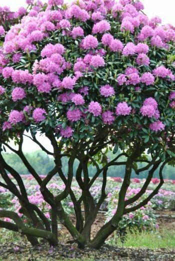 Rhododendren - Mullhem