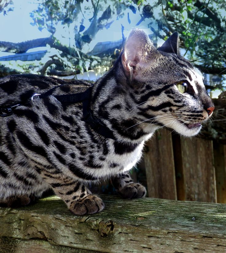JAG F1 Silver Charcoal Bengal Bengal Cats Pinterest