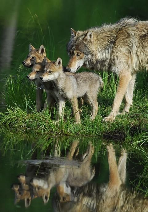 """@Patricia Herrin: ""@MeetAnimals: Great picture of a Wolf family at a lake! pic.twitter.com/NHHRDEvAc4""...awesome pic...so full of emotion...kudos'..."""