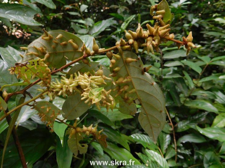 Œufs de papillons tropicaux au cœur de la jungle cambodgienne