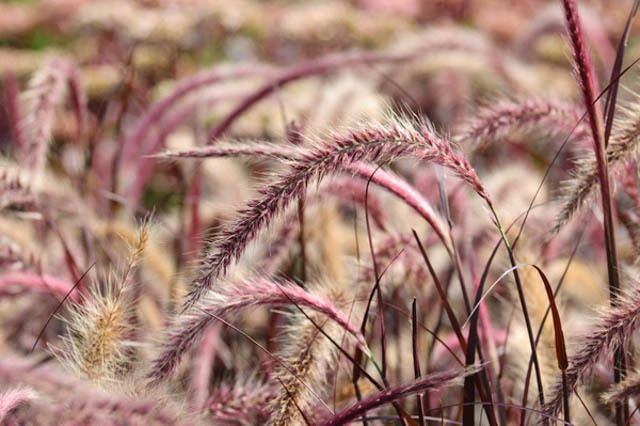 Pennisetum Setaceum Rubrum, Purple Fountain Grass information, Red Fountain Grass information, Purple Fountain Grass design ideas, Red Fountain Grass design ideas