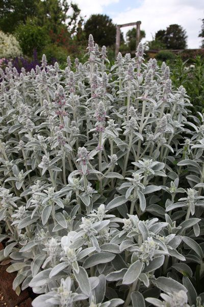 Touch: Lamb's ears - Stachys byzantina 'Silver Carpet' has soft silver/grey white leaves. Full sun, hardy and a needs well drained site.
