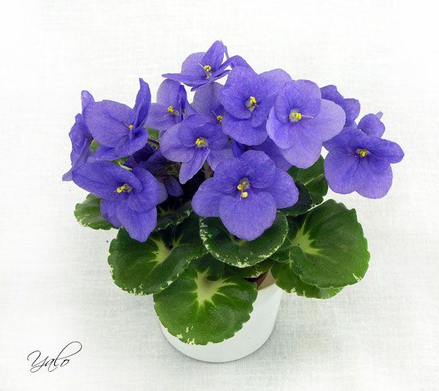 Shirl's Purple Passion Простые темно-пурпурные цветы; округлая воронковидная гёл-листва с белой пестролистностью. Полумини.
