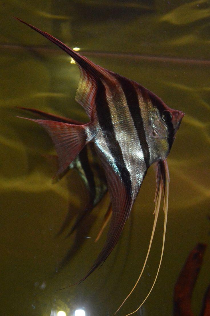 118 best images about aquarium maanvissen angelfish on for Peru altum skalar