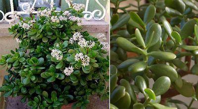 NOI AMICI X SEMPRE: Questa pianta attira ricchezza e prosperità come una calamita! E' uno dei motivi per cui dovremmo averla in casa!