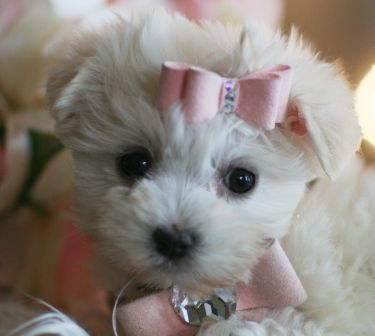 Teacup Maltese (I totally want one!!!...esp. if it is as adorable as this one =D)