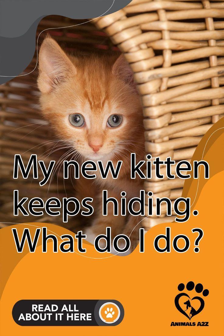 My New Kitten Keeps Hiding What Do I Do In 2020 Kitten Proofing Kitten Care Cat Exercise