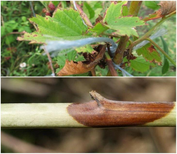 Пурпуровая пятнистость малины и ежевики