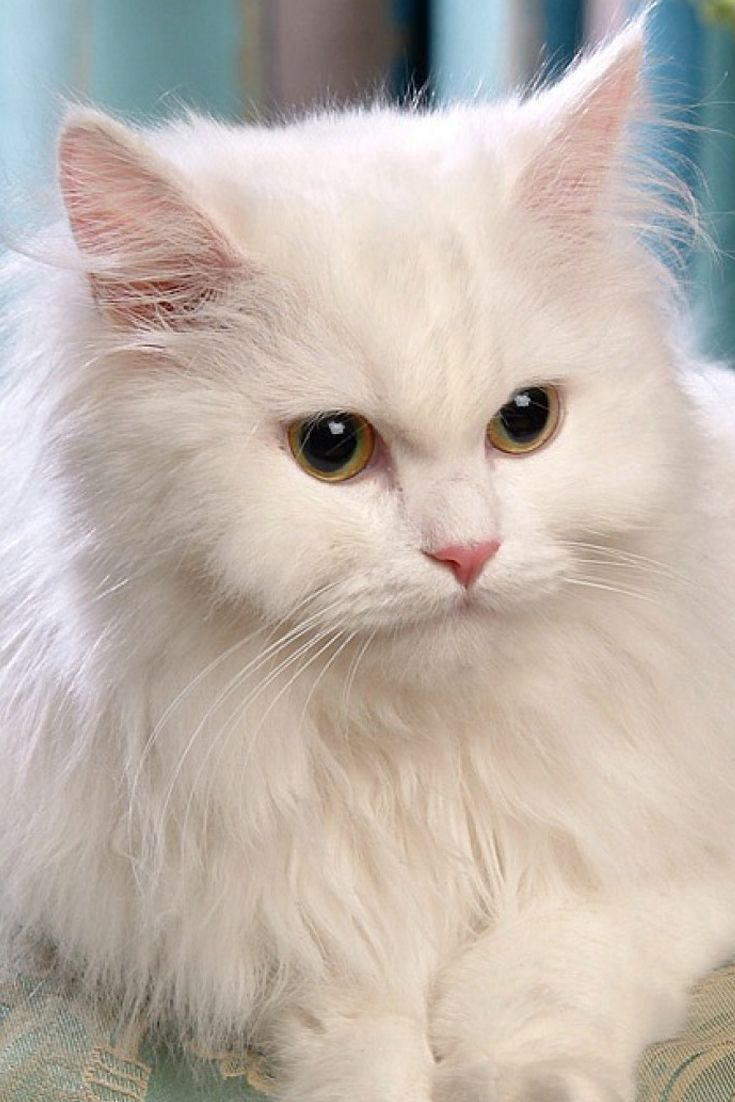 17 best persian cats images on Pinterest