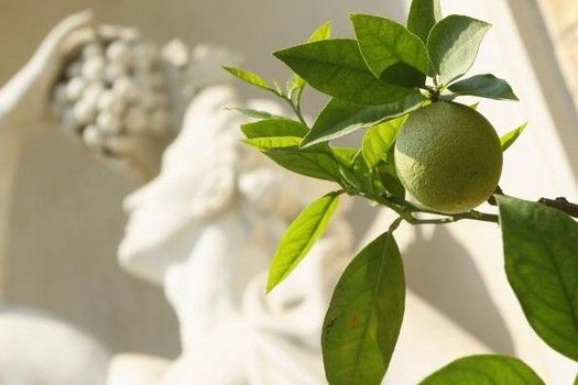 Wrapping & cooking foods with lemon, lime, & fig tree leaves