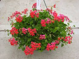 Image result for trailing geraniums