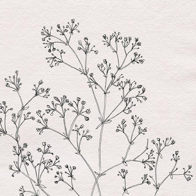 Baby S Breath Botanical Illustration By Nicnillas Ink Baby Breath Tattoo Babys Breath Botanical Illustration