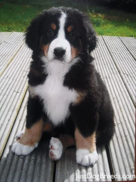 The minute I grow up, I'm going to have a Bernese mountain puppy. Maybe two.