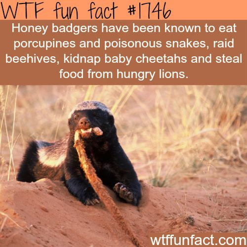 Facts about the Honey badgers - they really don't give a...