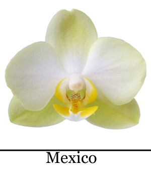 Orchidee Phalaenopsis Mexico