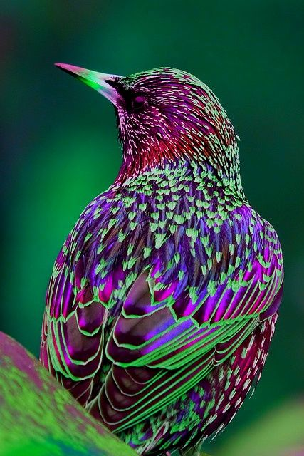 The Common Starling, also known as the European Starling or in the British Isles just the Starling, is a medium-sized passerine bird in the starling family Sturnidae.