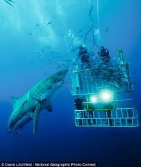 Swimming with sharks in a cage - Australia