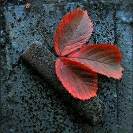 foglie rosse.