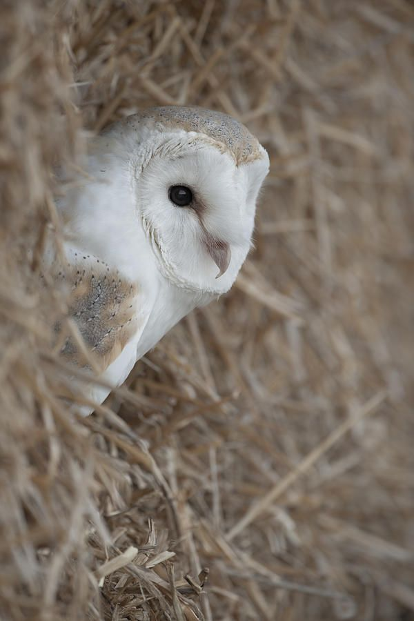 Watchfull Barn Owl Photograph by Andy Astbury - Watchfull ...
