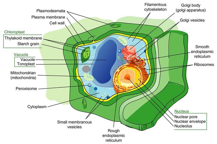 Plant Cell Parts and Their Functions: Plant Cell