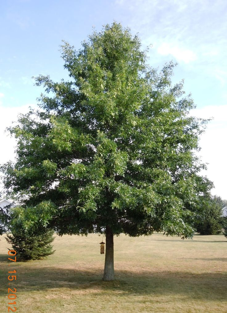 Pin Oak Tree Is A Gorgeous Very Large Tree That Keeps Its