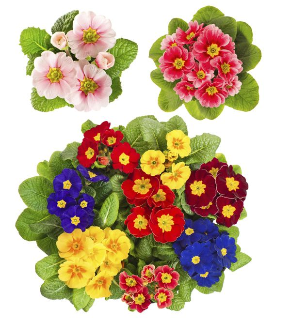 Plant Care Guide How To Grow And Care For A Primrose Plant With