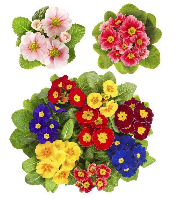 Growing Primrose Primrose Plants In Your Garden Primrose Plant