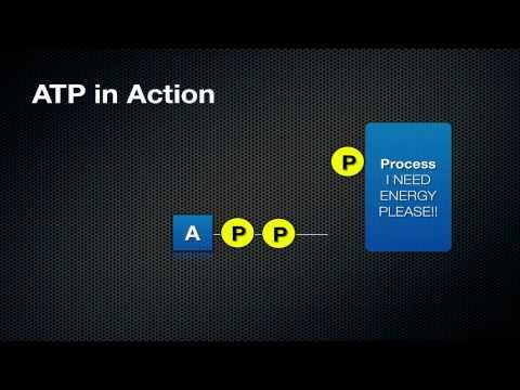 What ATP is and How it Works - Stage 6 PDHPE