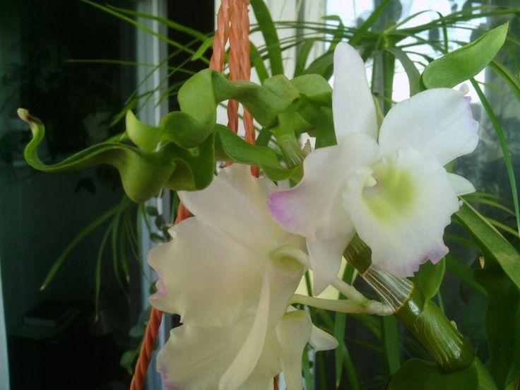 фаленопсисы.дендробиум.мой уход.выгонка тюльпанов