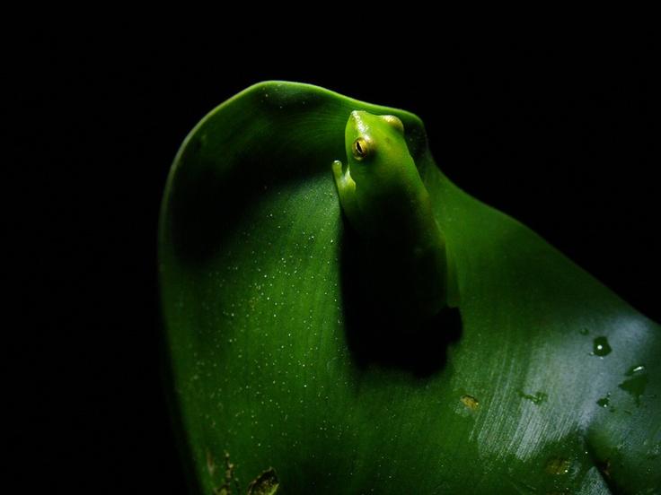 Ranita verde (2008)