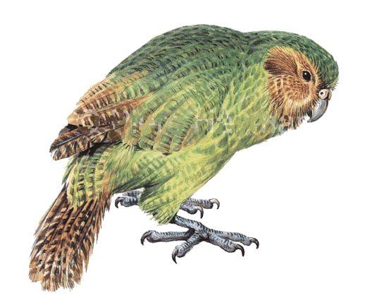 http://bittsandbytes.net/BIRDS_OF_NEW_ZEALAND/KAKAPO/best ...