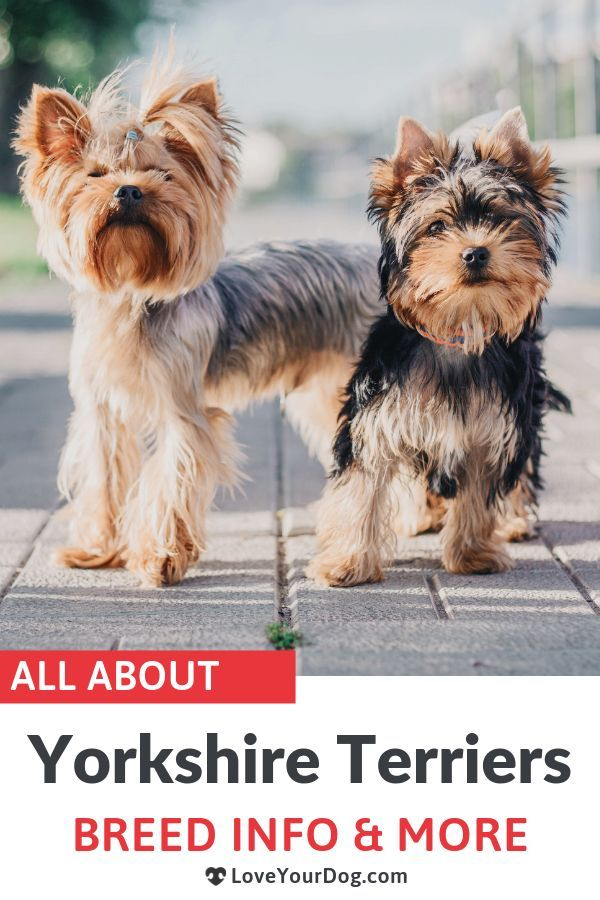 Yorkshire Terrier 101 Yorkie Breed Information Traits